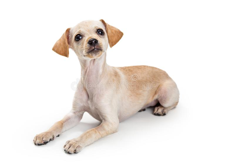 Cute Little Chihuahua Terrier Dog. Cute little mixed breed Chihuahua dog lying down looking up royalty free stock photography