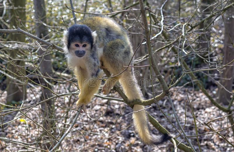 Cute little monkey in a tree. Playing happy in the early spring sun, looking for company royalty free stock photos