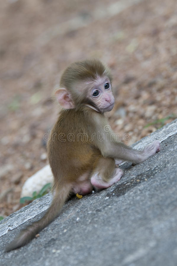 Cute little monkey. Waiting on a stone for his mom stock image