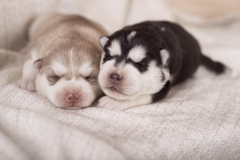 Cute little newborn husky lying together and sleeping royalty free stock photography