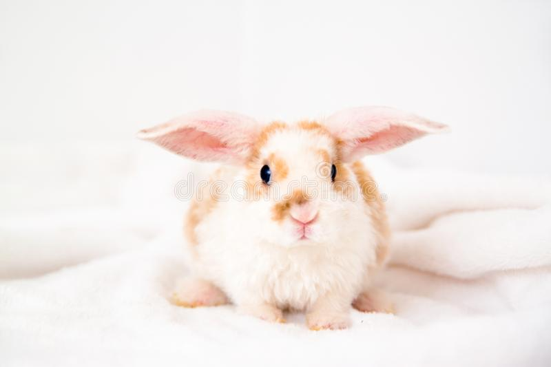 Cute little orange and white color bunny with big ears. rabbit on white background . Nose close up - animals and pets concept stock image