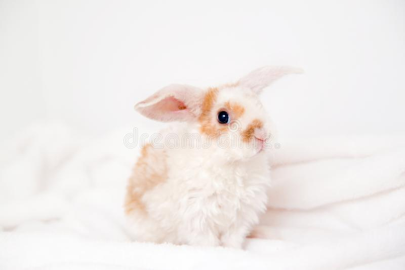 Cute little orange and white color bunny with big ears. rabbit on white background . Nose close up - animals and pets concept stock photography