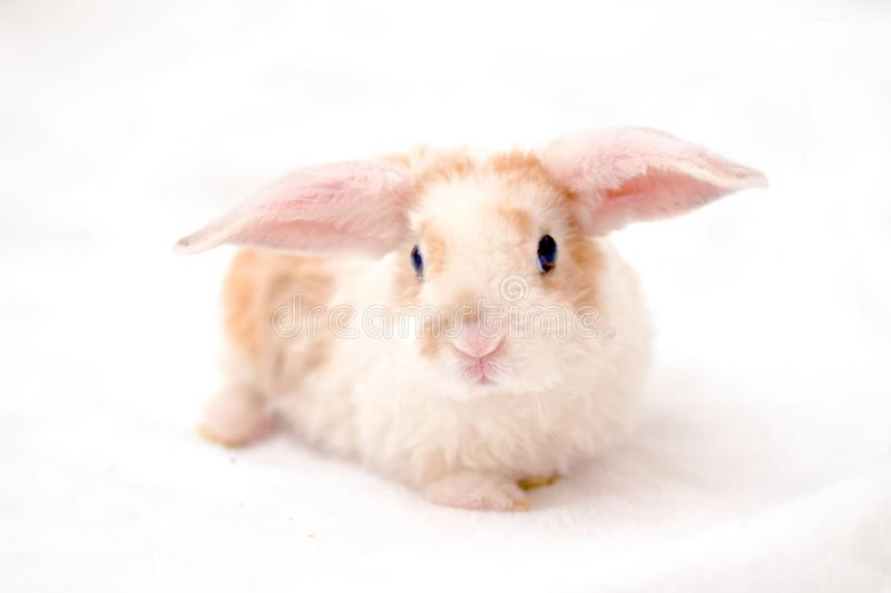 Cute little orange and white color bunny with big ears. rabbit on white background . Nose close up - animals and pets concept royalty free stock images