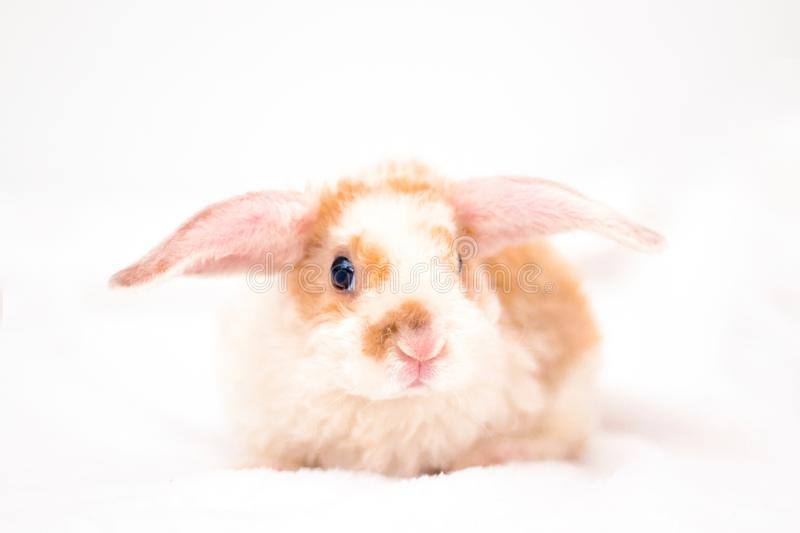 Cute little orange and white color bunny with big ears. rabbit on white background . Nose close up - animals and pets concept royalty free stock photo