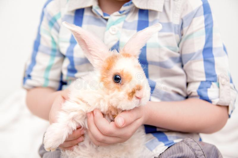 Cute little orange and white color bunny with big ears. rabbit in boy hands. close up - animals and pets concept. royalty free stock photo
