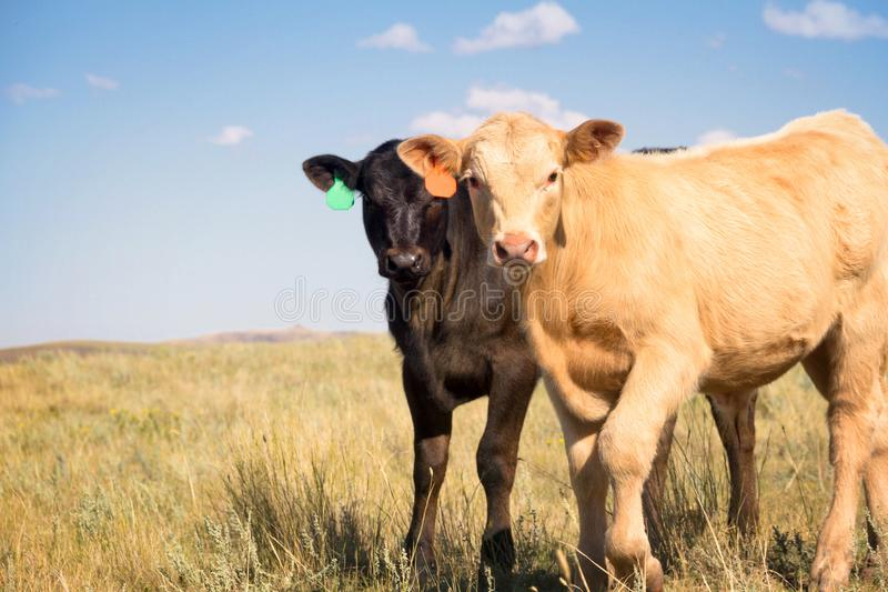 Two Baby Beef Calves in a Pasture. A cute little Palomino Charolais crossbred calf and a black Angus calf standing out in a summer pasture together stock photography