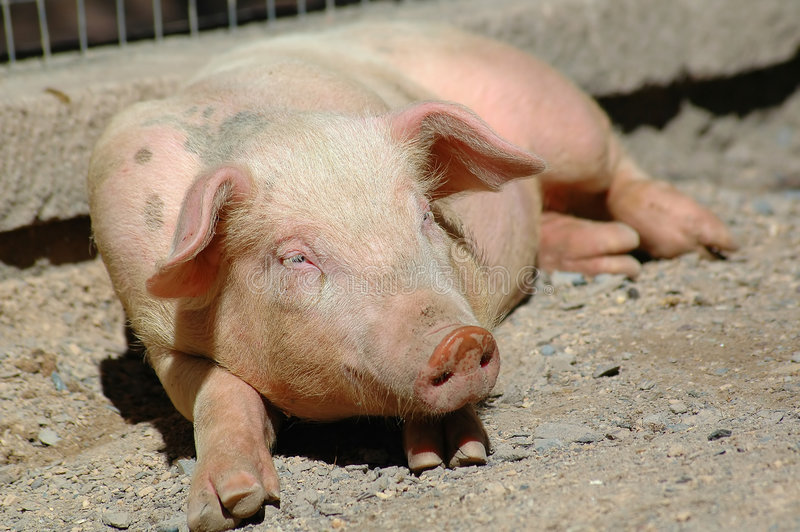 Cute little pig stock photography