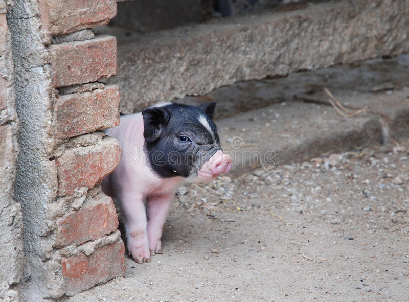 Cute little pig. Raise its guard royalty free stock images