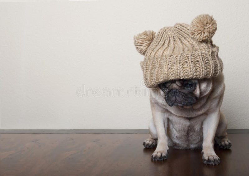 Cute little pitiful sad pug puppy dog, sitting down on wooden floor stock photography