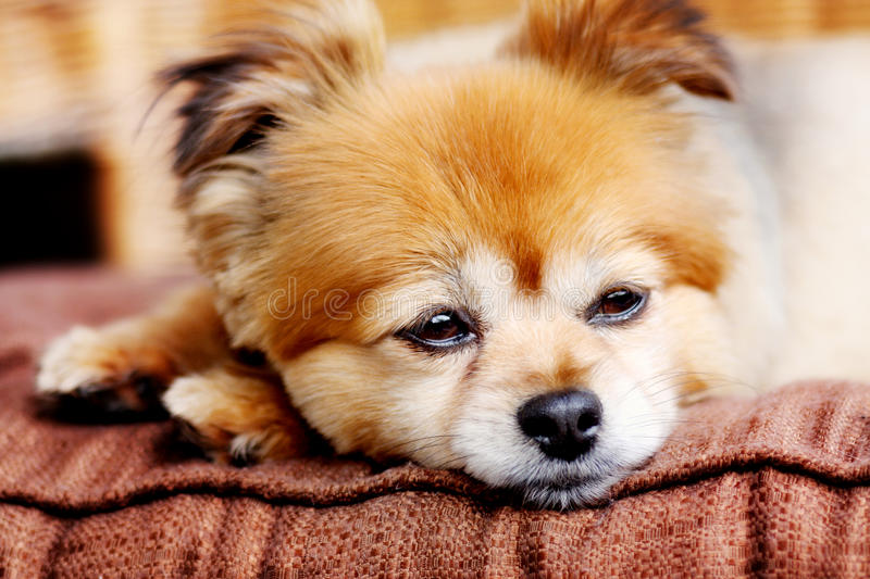 Cute little pommeranian. Sweet little pommeranian rests his head on his paws stock image