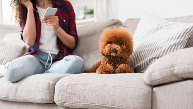 Cute little poodle puppy on sofa at home. Cute little poodle puppy sitting on sofa at home, while his woman owner listening to music, copy space stock image