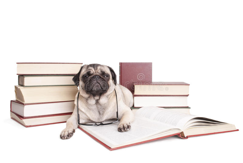 Cute little pug dog puppy reading books with reading glasses royalty free stock photography