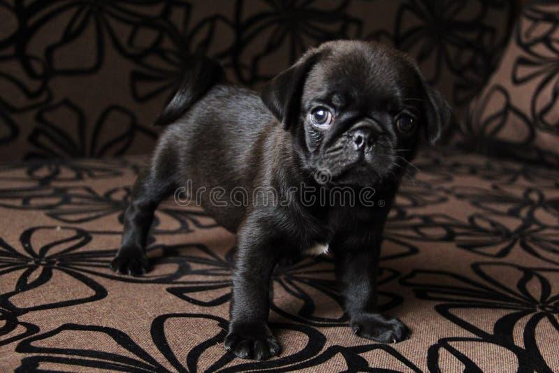 Cute little pug stock photo