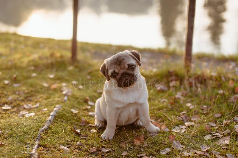 A cute puppy pug sitting on grass near the lake and is looking straight at the camera with his head tilted. Cute little pug puppy, sitting on grass, during a royalty free stock photos