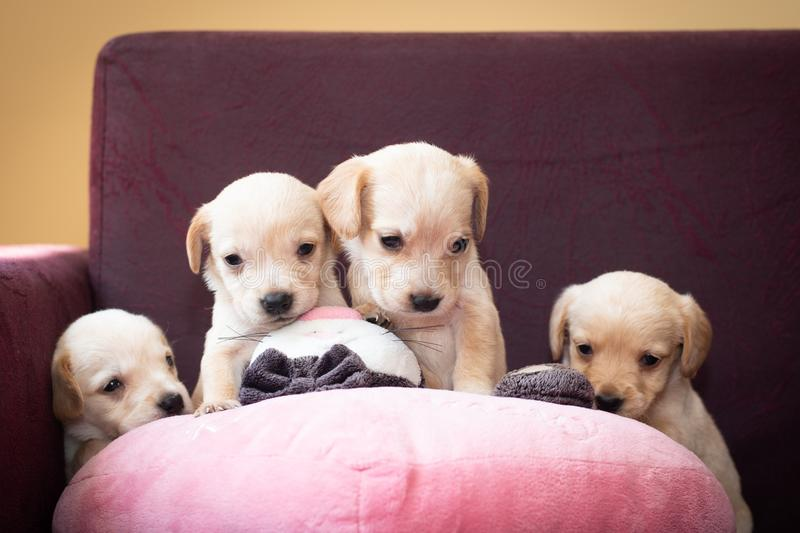 Cute little puppies royalty free stock image