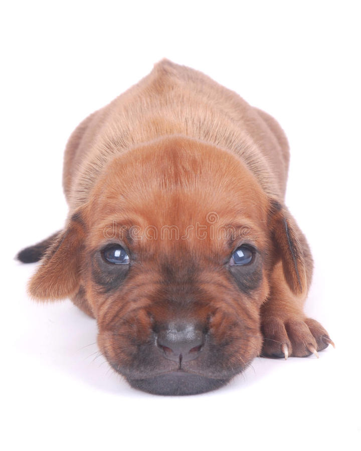 Cute little puppy. Studio portrait of a cute little two weeks old purebred Rhodesian Ridgeback hound dog puppy with opened eyes staring. Image isolated on white stock photos