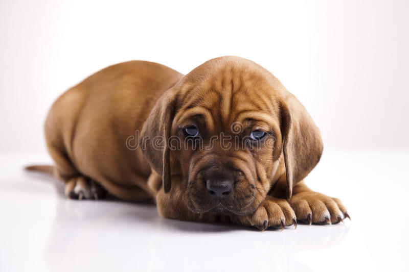 Cute little puppy. Studio portrait of a cute brown little puppy with sleepy facial expression royalty free stock images