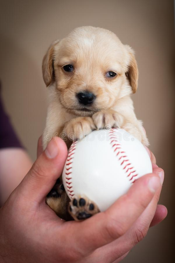 Cute little puppy. On big baseball ball in man hands royalty free stock photo