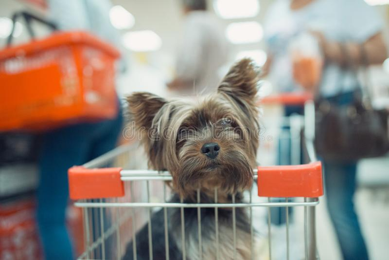 Cute little puppy dog sitting in a shopping cart on blurred shop mall background with people. selective focus macro shot. Cute little puppy dog sitting in a stock images