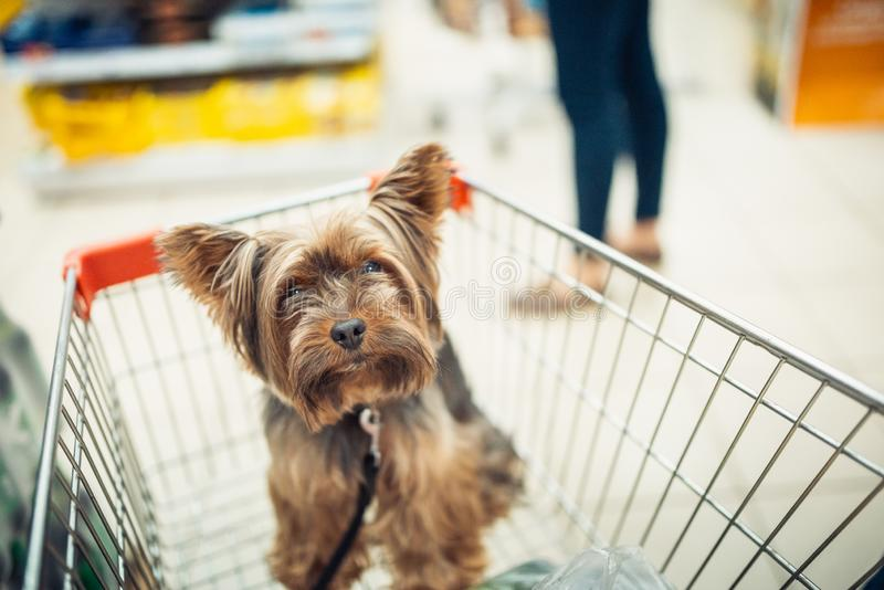 Cute little puppy dog sitting in a shopping cart on blurred shop mall background with people. selective focus macro shot royalty free stock photos