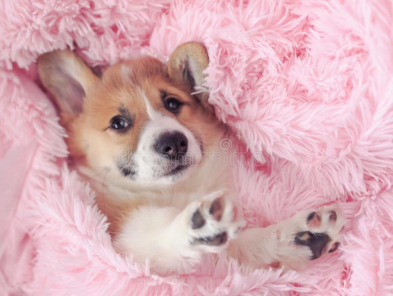 Little puppy of ginger dog Corgi lies in pink a fluffy blanket with its muzzle and paws out. Cute little puppy of ginger dog Corgi lies in pink a fluffy blanket stock photos