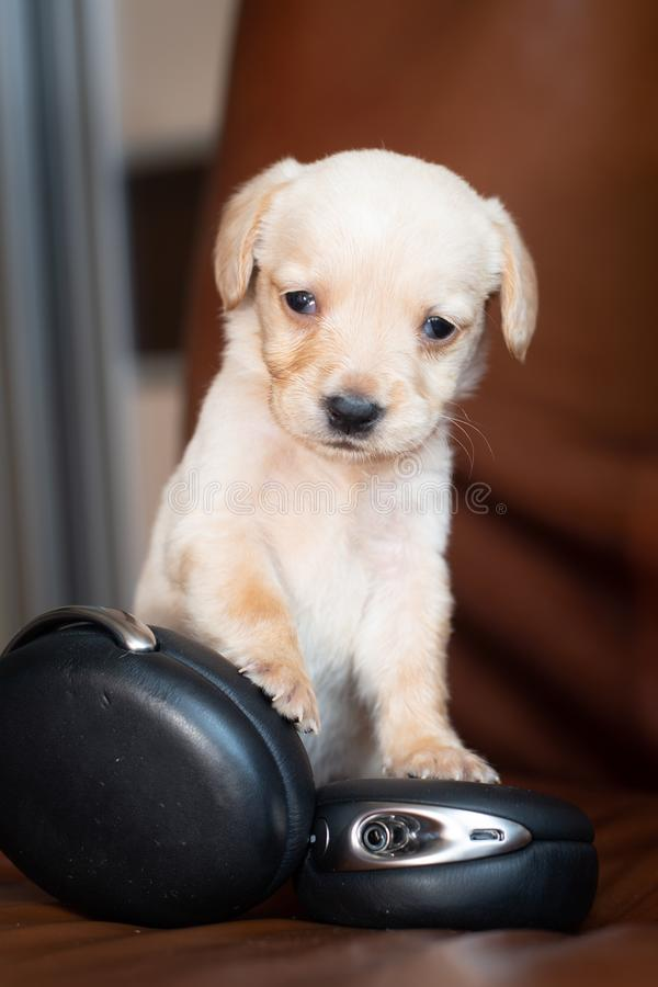 Cute little puppy. With headphones on brown leather chair royalty free stock photo