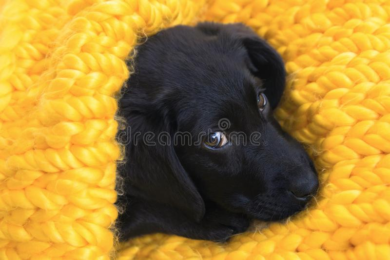 Cute little puppy Labrador retriever lying in knitted yellow plaid stock photography