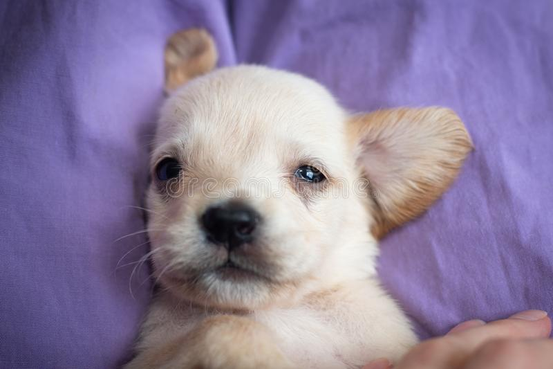 Cute little puppy. Lying on back and looking at camera stock image