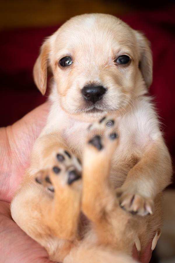 Cute little puppy. Lying on back and looking at camera with selective focus royalty free stock photo