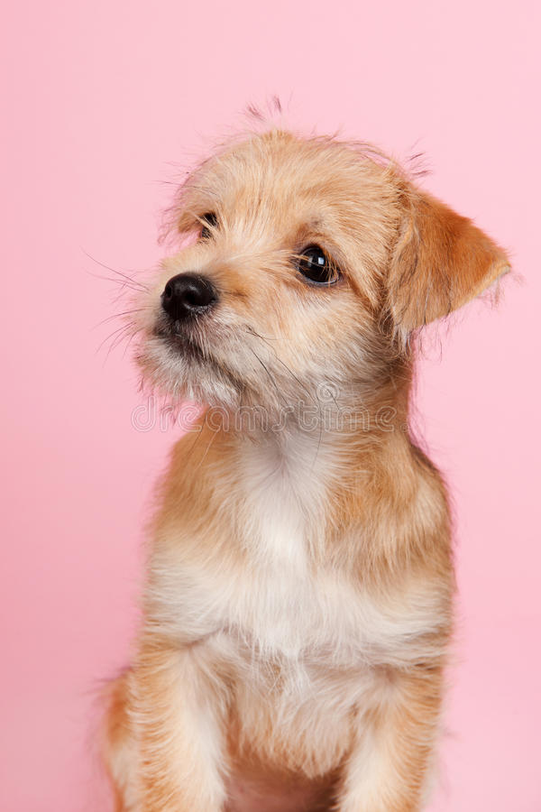 Download Cute little puppy stock image. Image of breed, brown - 37538913