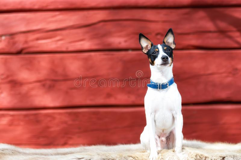 Cute little puppy sitting on a deer fur. Red wooden background. Copy space. royalty free stock photos