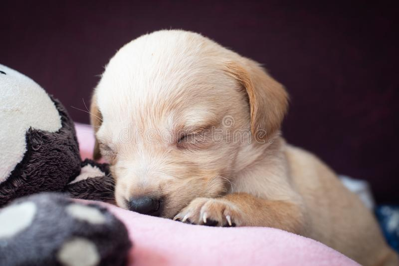 Cute little puppy. Sleeping closeup view beige adorable royalty free stock photo