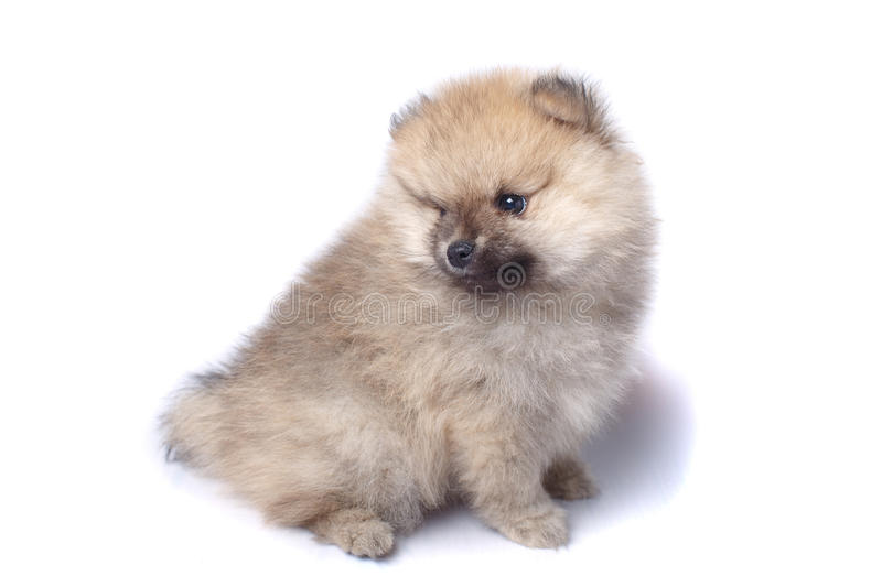 Beautiful German Spitz Canine Adorable Dog - cute-little-puppy-small-german-spitz-isolated-white-background-80662792  Snapshot_418812  .jpg