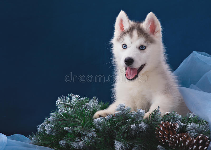 Cute little puppy of syberian husky. In studio royalty free stock photos