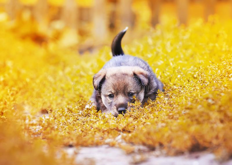 Cute little puppy walking on the grass in the garden summer fun. Wagging his tail royalty free stock images