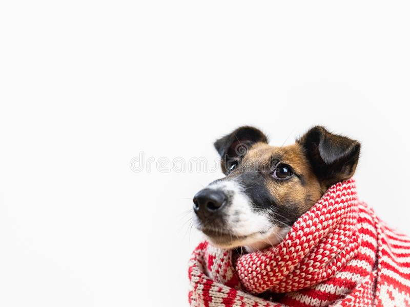 Cute little puppy in white and red winter scarf looking up. Portrait of young fox terrier dog in winter clothes at studio background royalty free stock photos