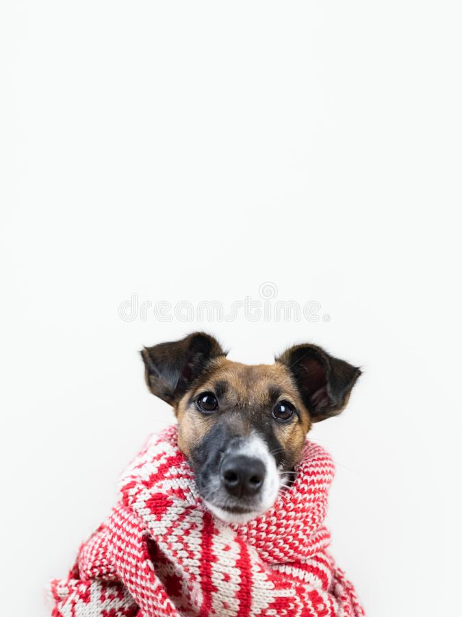 Cute little puppy in white and red winter scarf. Portrait of young fox terrier dog in winter clothes at studio background stock photography