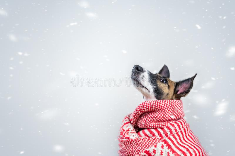 Cute little puppy in white and red winter scarf in snowy background. Portrait of young fox terrier dog surrounded by falling snowflakes royalty free stock photography