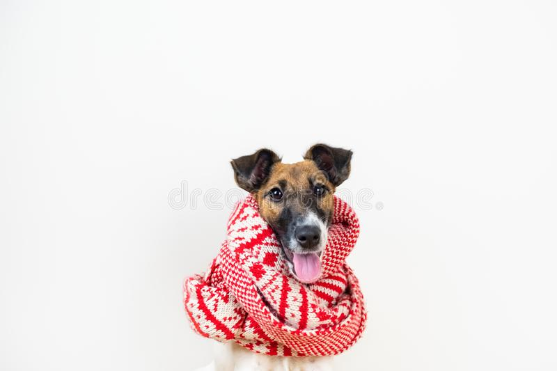 Cute little puppy in white and red winter scarf. Young fox terrier dog in winter clothes at studio background royalty free stock images