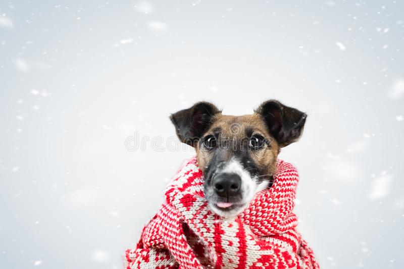 Cute little puppy in winter scarf catching the falling snow with tongue. Portrait of young fox terrier dog in scarf surrounded by. Falling snowflakes royalty free stock image