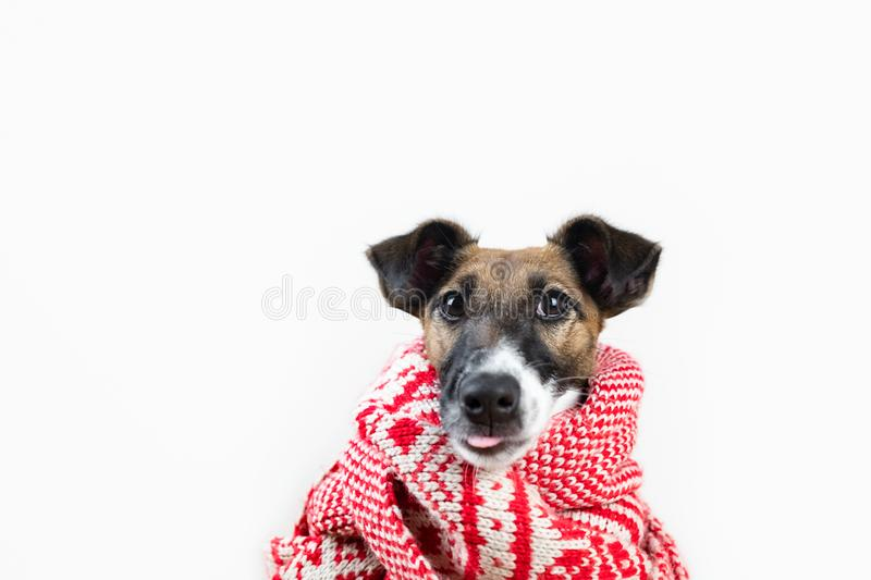 Cute little puppy in winter scarf with funny tongue sticking out. Portrait of young fox terrier dog in winter clothes at studio background royalty free stock photos