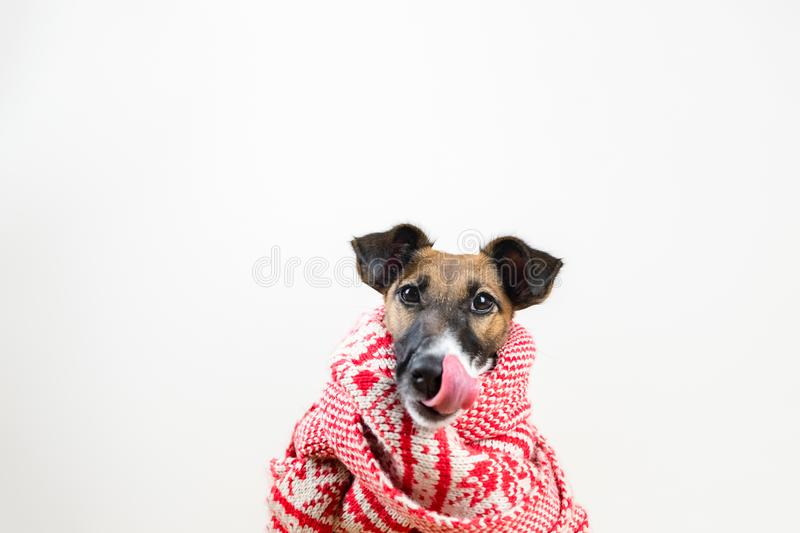 Cute little puppy in winter scarf licking nose. Portrait of young fox terrier dog in winter clothes at studio background stock image