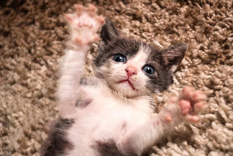 Cute little cat lying on its back with paws up in a house on the carpet royalty free stock image