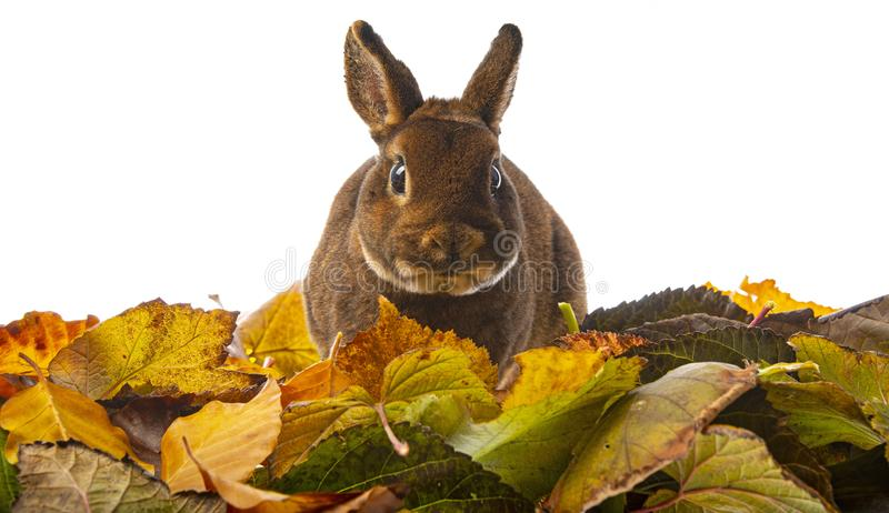 Cute little rabbit and autumnal leaves. Cute little rabbit on an autumnal background royalty free stock photos