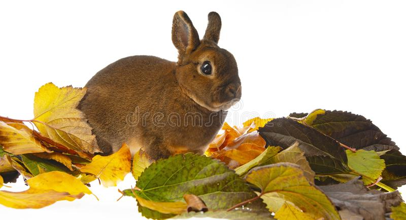 Cute little rabbit and autumnal leaves. A Cute little rabbit and autumnal leaves stock images