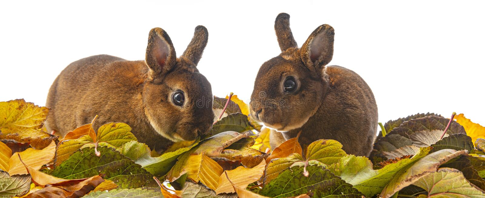 Cute little rabbit and autumnal leaves. A Cute little rabbit and autumnal leaves stock photography