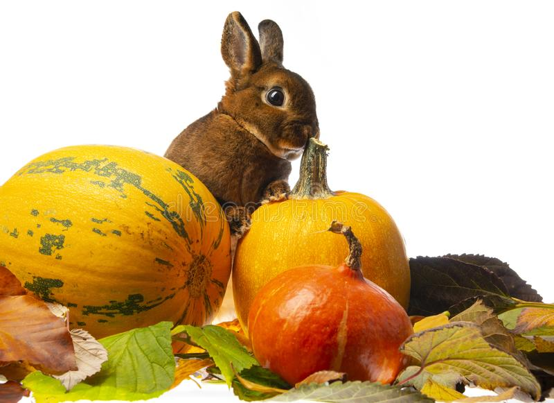 Cute little rabbit and autumnal leaves and pumpkins. Cute little rabbit and autumnal leaves royalty free stock image