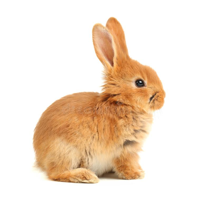 Cute little rabbit royalty free stock photos