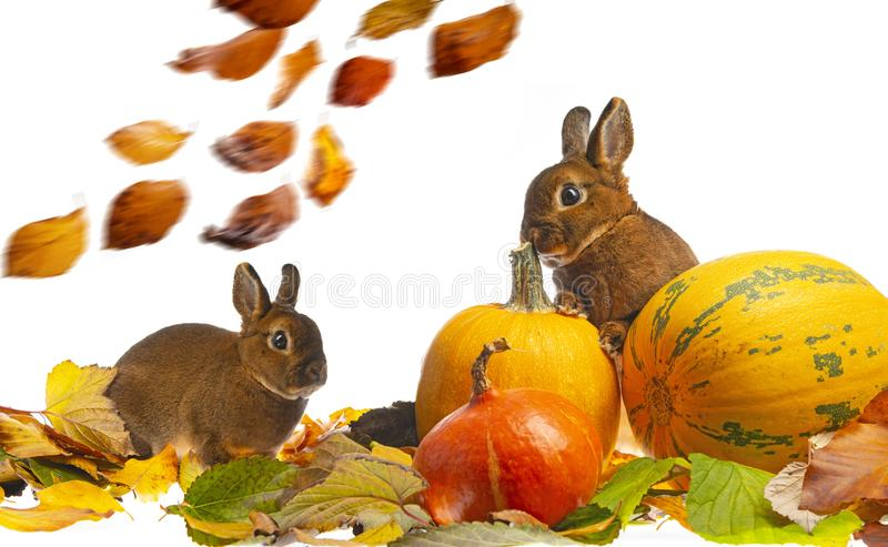 Cute little rabbits and autumnal leaves and pumpkins. Cute little rabbits and autumnal leaves royalty free stock image