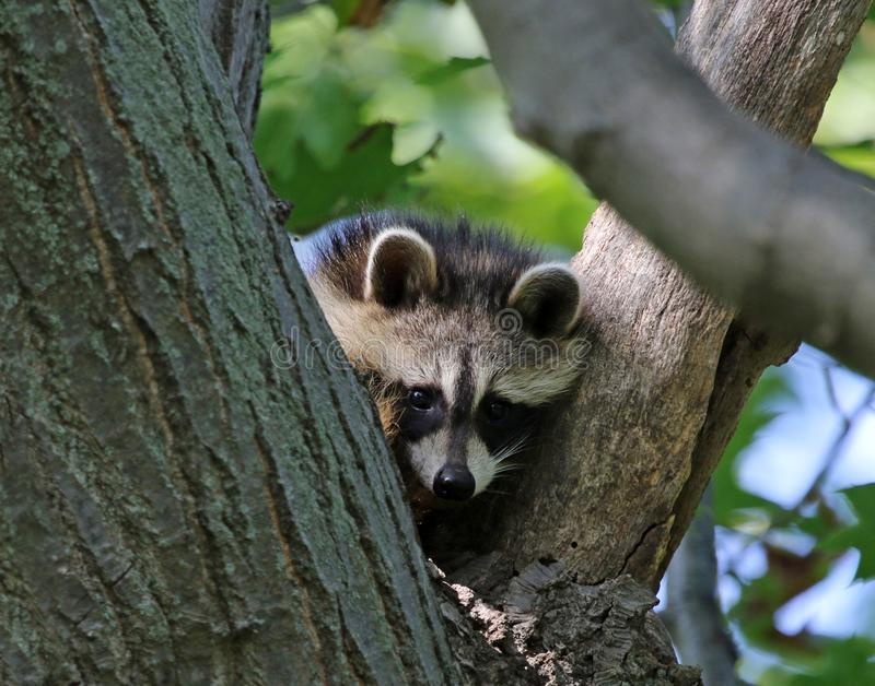 Cute Little Raccoon. A young Raccoon rocyon lotor sitting in the `Y` of a tree. Shot in Wheatley Provincial Park, located in Ontario, Canada stock photography